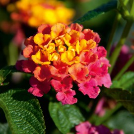 LANTANA CAMARA SUNRISE ROSE - 3 KS