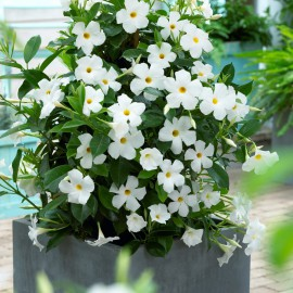 MANDEVILLA WHITE - 3 KS