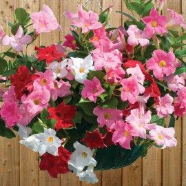 MANDEVILLA MIX - 3 KS