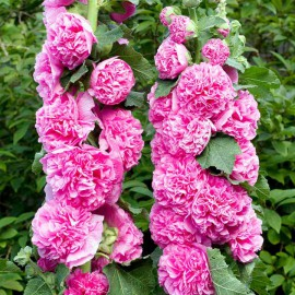 ALCEA ROSEA CHATER*S DOUBLE PINK
