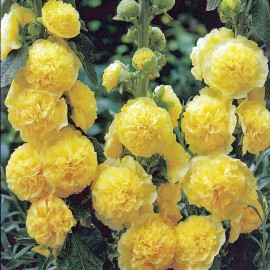 ALCEA ROSEA CHATER*S DOUBLE YELLOW