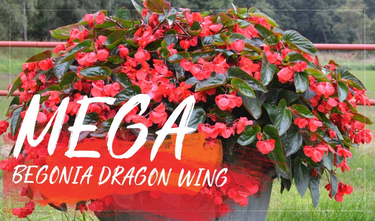 MEGA BEGONIA Dragon Wing
