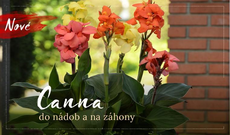 Exotická kráska Canna